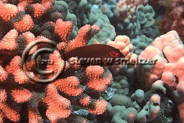 Arc-eye Hawkfish, on Guard, Paracirrhites Arcatus, Maui Hawaii (Steven Smeltzer)