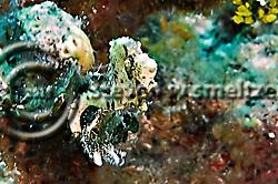 Caribbean Dwarf Seahorse, Hippocampus syngnathidae, Seahorses, Parrots Landing, Grand Cayman (Steven Smeltzer)
