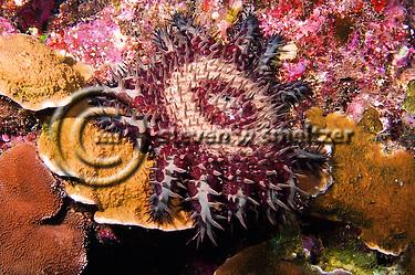 Crown of Thorns starfish, Acanthaster planci, (Linnaeus, 1758), Lanai Hawaii (Steven Smeltzer)