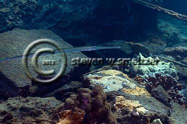 Keeltail Needlefish, Platybelone argalus, (Lesueur, 1821), Maui Hawaii (Steven W SMeltzer)