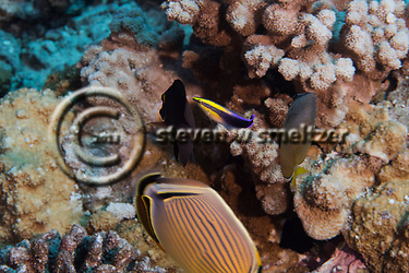 Rainbow Cleaner Wrasse, Labroides phthirophagus, Maui Hawaii (Steven Smeltzer)
