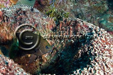 Longfin Damselfish, Stegastes diencaeus, Grand Cayman (StevenWSmeltzer.com)