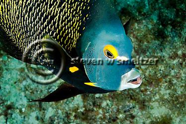 French Angelfish, Face of an Angel, Pomacanthus paru, (Bloch, 1787), Grand Cayman (StevenWSmeltzer.com)
