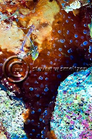 Anemone Shrimp, Periclimenes Yucatanicus and Bubble Tip Anemone, Entacmaea quadricolor, in Grand Cayman (Steven Smeltzer)