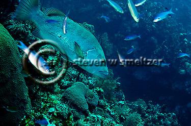 Cubera snapper, Lutjanus cyanopterus, (Cuvier, 1828), Grand Cayman (StevenWSmeltzer.com)