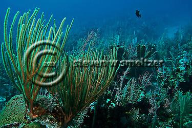 Coral garden, slit-pore sea rods, sponges, hard coral, star coral, Grand Cayman (Steven Smeltzer)