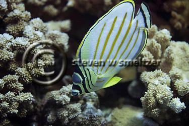 Ornate Butterfly Fish, Chaetodon ornatissimus, Cuvier, 1831, Maui Hawaii, (Steven Smeltzer)
