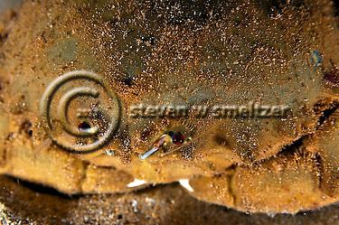 Sleepy Sponge Crab Close up, Dromia dormia, off west coast of Maui, Hawaii (Steven Smeltzer)