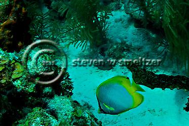 Spotfin Butterflyfish - Chaetodon ocellatus, Grand Cayman (StevenWSmeltzer.com)