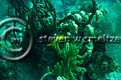 Cocoa Damselfish, Stegastes variabillis, Grand Cayman (StevenWSmeltzer.com)