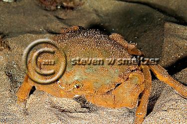 Sleepy Sponge Crab, Dromia dormia, off west coast of Maui, Hawaii (Steven Smeltzer)