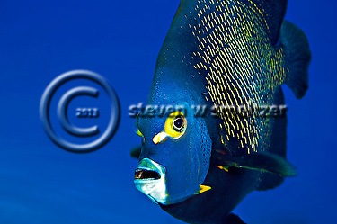 French Angelfish Close Up, Pomacanthus paru, (Bloch, 1787), Grand Cayman (Steven Smeltzer)