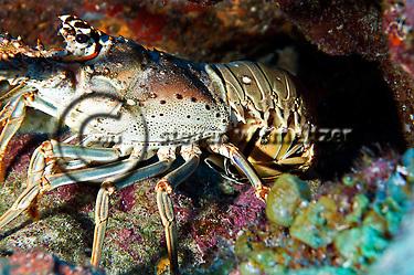 Spiny Lobster, Palinuridae argus, hiding under ledge Grand Cayman (Steven Smeltzer)