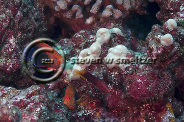 Potters Angelfish, Centropyge potteri, (Jordan & Metz, 1912), Molokai Hawaii (Steven W SMeltzer)