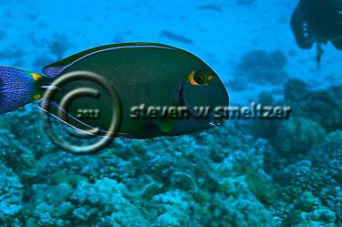 Eyestripe Surgeonfish, Acanthurus dussumieri, Maui Hawaii (Steven Smeltzer)