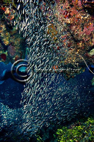 Reef Silversides, Atherinidae, Clupeidae, Engraulididae, Orange Canyon, Grand Cayman (Steven Smeltzer)