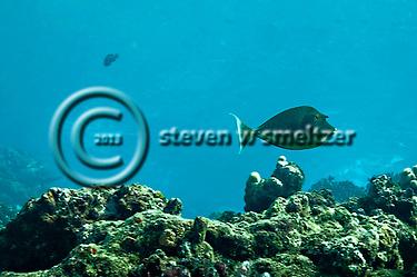Bluespine Unicornfish, Naso unicornis, Maui Hawaii (Steven W SMeltzer)