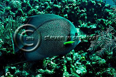 Gray Angelfish, Pomacanthus arcuatus, Grand Cayman (StevenWSmeltzer.com)