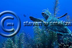 Green Sea Turtle, Chelonia mydas, (Linnaeus, 1758), Grand Cayman (Steven W Smeltzer)