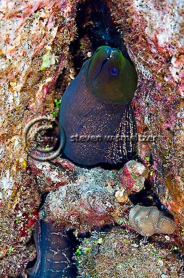 Undulated Moray, Gymnothorax undulatus, Maui Hawaii (Steven Smeltzer)