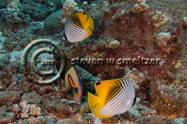 Threadfin Butterflyfish, Chaetodon auriga, Maui Hawaii (Steven Smeltzer)