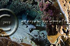 White-tip Reef Shark, Triaenodon obesus, (Rüppell, 1837), mano lalakea, Molokini Crater, Maui Hawaii (Steven W Smeltzer)