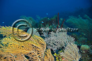 Soft Corals, Grand Cayman, Pseudopterogorgia acerosa, Near Babylon (Steven Smeltzer)