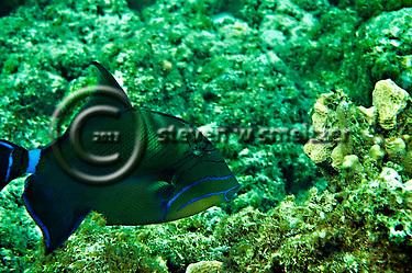 Queen Triggerfish, Balistes vetula, Grand Cayman (Steven Smeltzer)