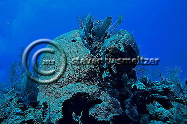 Blushing star coral, Grand Cayman, Caribbean (Steven Smeltzer)