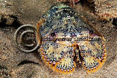 Brown Slipper Lobster, Parribacus antarcticus, Maui Hawaii (Steven Smeltzer)