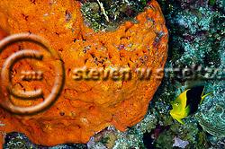 Rock Beauty, Holacanthus tricolor, (Bloch, 1795), Grand Cayman (StevenWSmeltzer.com)