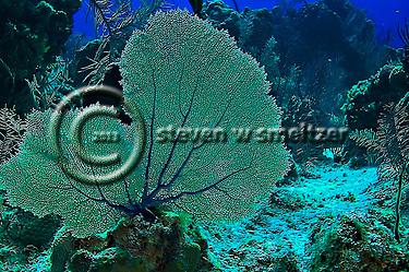 Gorgonian Fan on the North Wall, Grand Cayman (Steven Smeltzer)
