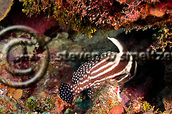 Spotted Drum, Equetus punctatus, Grand Cayman (StevenWSmeltzer.com)