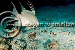 Hogfish, Intermediate, Lachnolaimus maximus, Grand Cayman (StevenWSmeltzer.com)
