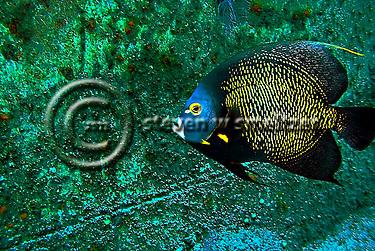 French Angelfish, Pomacanthus paru, Oro Verde shipwreck, (Bloch, 1787), Grand Cayman (Steven Smeltzer)