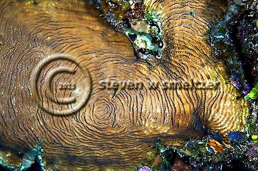 Dimpled sheet coral, Grand Cayman (Steven Smeltzer)