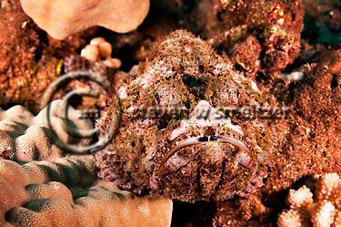 Commerson's Frogfish, Antennarius commerson, (Lacepède, 1798), Lanai Hawaii (Steven W SMeltzer)