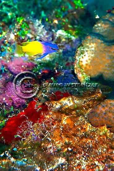 Fairy Basslet, Gramma loreto, Coral reef Grand Cayman (Steven Smeltzer)