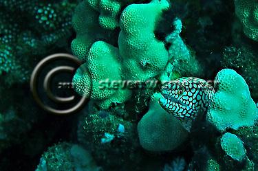 Moray Eel, Maui Hawaii (Steven W Smeltzer)