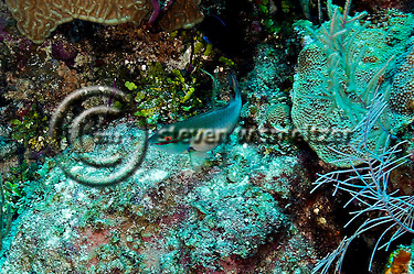 Redband Parrotfish, Sparisoma aurofrenatum, (Valenciennes, 1840), Grand Cayman (StevenWSmeltzer.com)