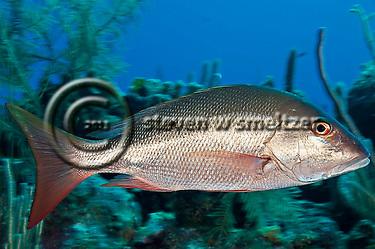 Mutton Snapper, Lutjanus analis, (Cuvier, 1828), Grand Cayman (StevenWSmeltzer.com)