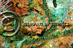BalloonFish, Diodon holocanthus, north wall, Grand Cayman (Steven Smeltzer)