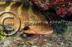 Nassau Grouper, Epinephelus striatus, Epinephelus striatus, (Bloch, 1792), Grand Cayman (StevenWSmeltzer.com)
