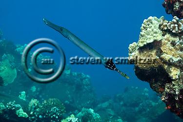 Pacific Trumpetfish, Aulostomus chinensis, (Linnaeus, 1766), Maui Hawaii (Steven W SMeltzer)
