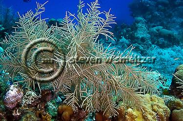 Soft Corals, Grand Cayman, Pseudopterogorgia americana, North Wall (Steven Smeltzer)