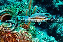 Striped Parrotfish, Scarus iseri, (Bloch, 1789), Grand Cayman (StevenWSmeltzer.com)