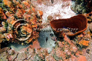 Bowl Sponge, Cribrochalina infundibulum also know as Cribrochalina vasculum, Grand Cayman (Steven Smeltzer)
