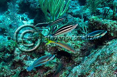 Princess Parrotfish, Scarus taeniopterus, Desmarest, 1831, Striped Parrotfish, Scarus iseri, (Bloch, 1789), Grand Cayman (StevenWSmeltzer.com)