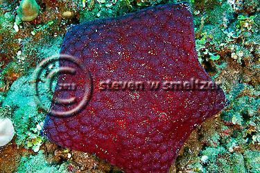 Cushion Starfish, Culcita novaeguineae, off coast of Kihei, Maui Hawaii (Steven Smeltzer)