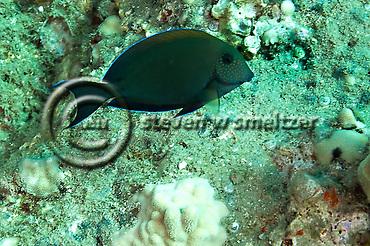 Brown Surgeonfish, Acanthurus nigrofuscus, Maui Hawaii (Steven Smeltzer)